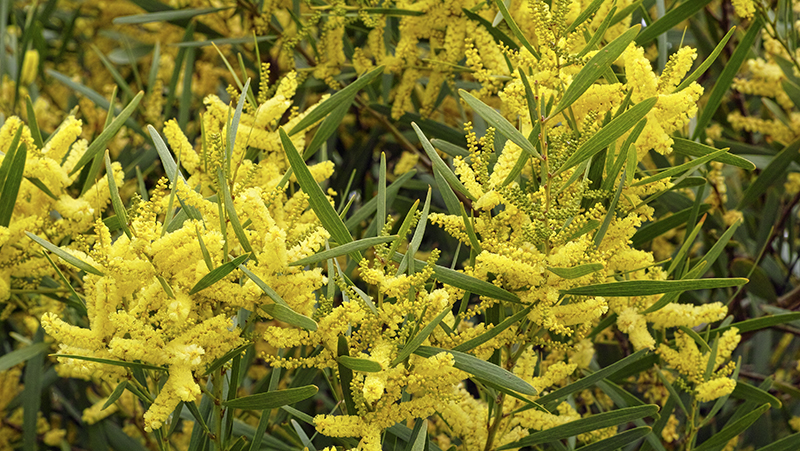 how-to-grow-wattle_1551160398960