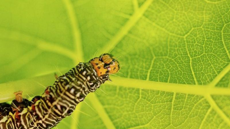 vine-moth-caterpillar_1552965914965