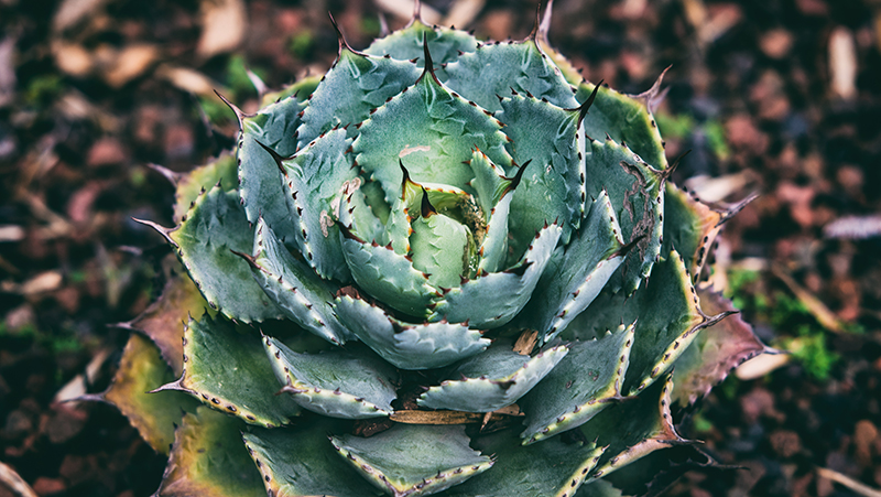 how-to-grow-agave_1551160443103