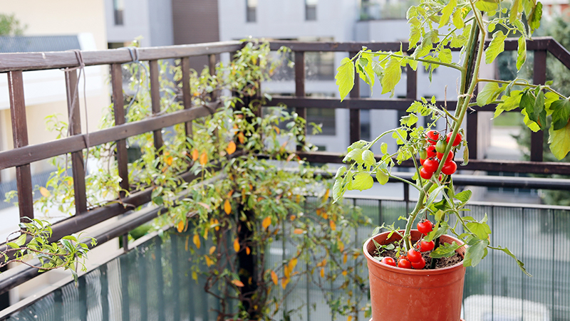 how-to-grow-tomatoes_1551160534340