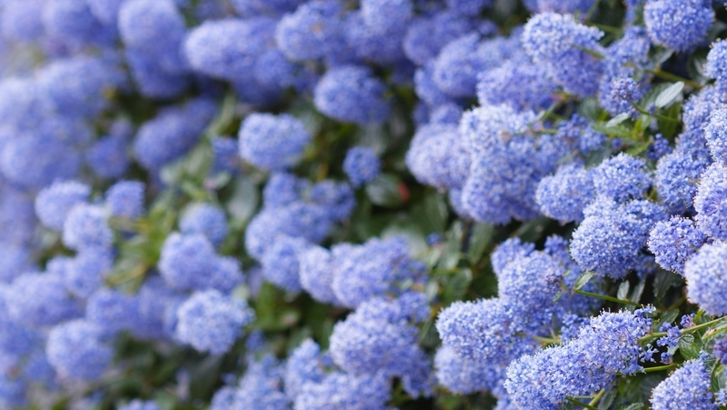 how-to-grow-ceanothus_1551760749880