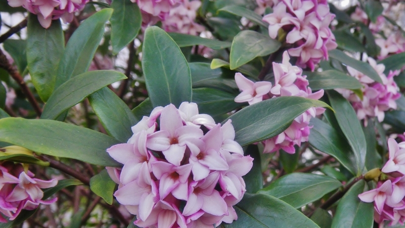 how-to-grow-daphne_1551762311877