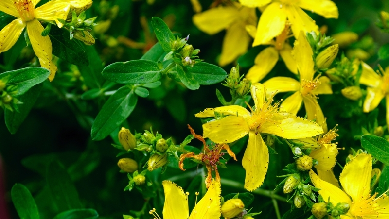 how-to-grow-hypericum_1551765655407