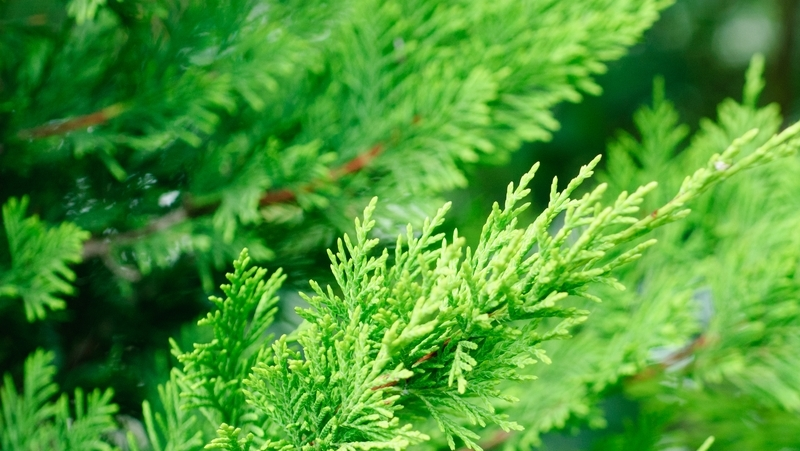 how-to-grow-leighton-green-conifer_1551764445430