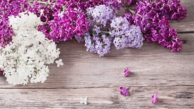 how-to-grow-lilacs_1551160461833
