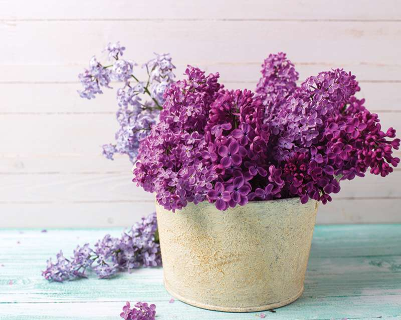 how-to-grow-lilacs_1551160480442