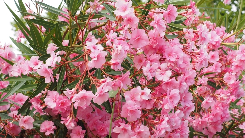 how-to-grow-oleander_1551839725632