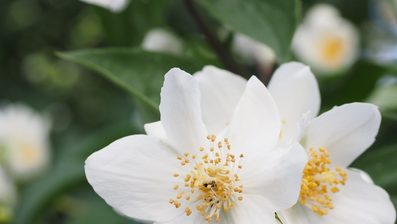 how-to-grow-philadelphus_1551840782428