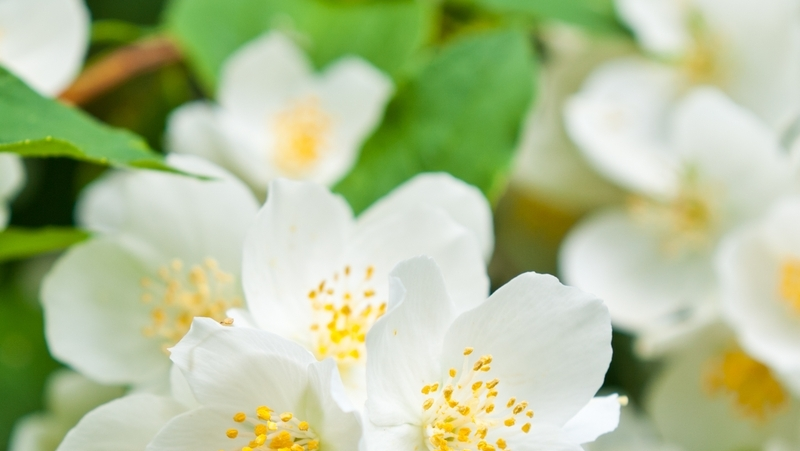 how-to-grow-philadelphus_1551840784379