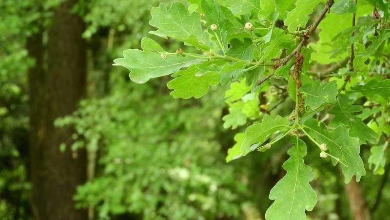 how-to-grow-quercus_1551844783625