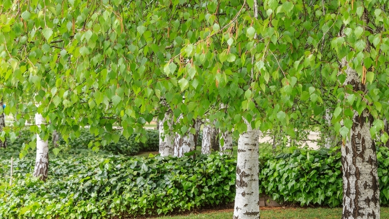 how-to-grow-silver-birch_1551845033770