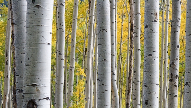 how-to-grow-silver-birch_1551845034791