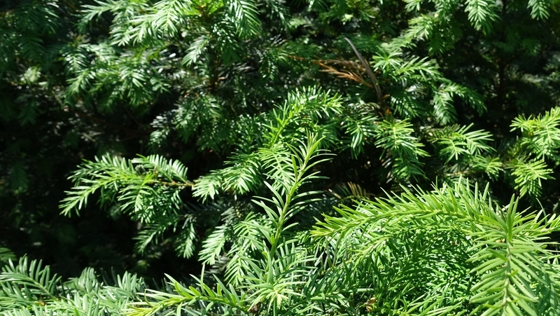 how-to-grow-taxus_1551845298178