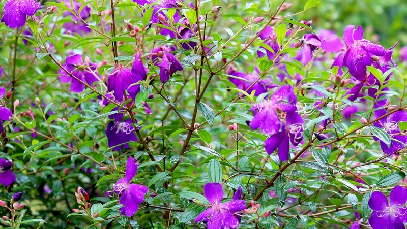how-to-grow-tibouchina_1551845441916