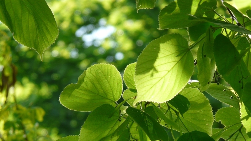 how-to-grow-tilia_1551845593721