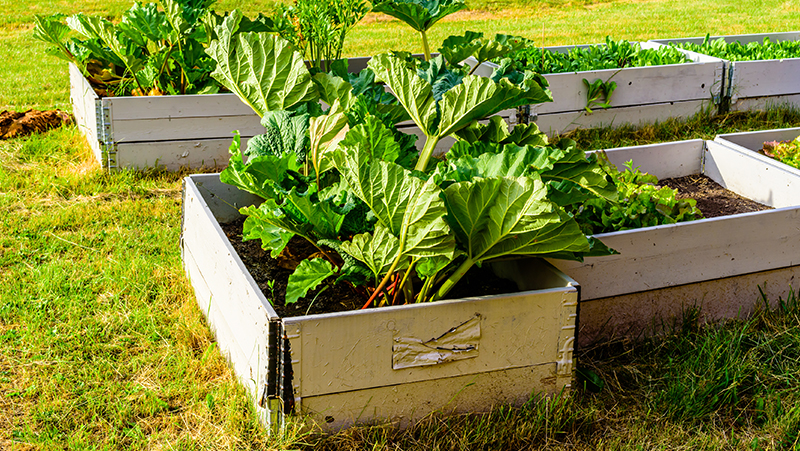how-to-grow-rhubarb_1551160523073
