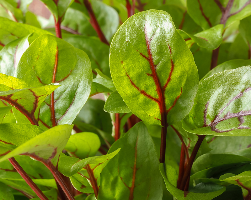 how-to-grow-sorrel_1551160516399