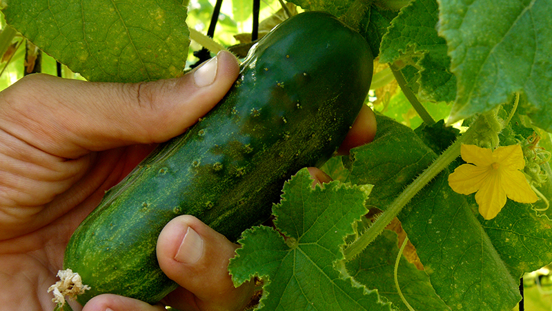 how-to-grow-cucumber_1551160533831