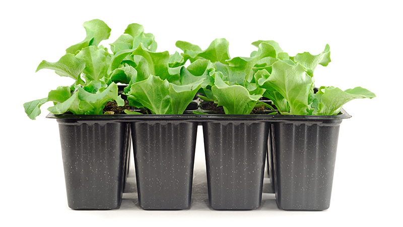 how-to-grow-lettuce_1551160547488