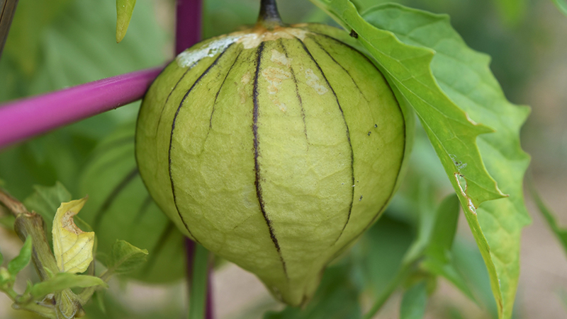 how-to-grow-tomatillo_1551160517471