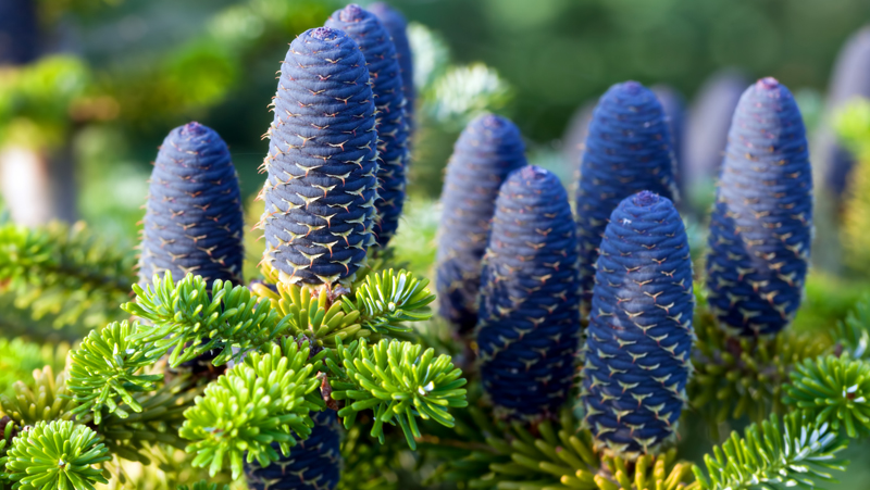 Abies normanniana